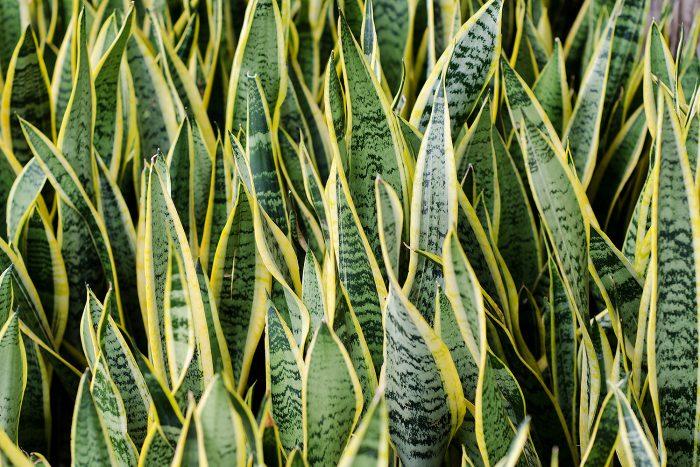 01-istock-sansevieria-trifasciata-700x467