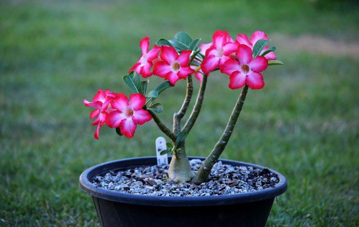 flor-do-deserto-1-700x442